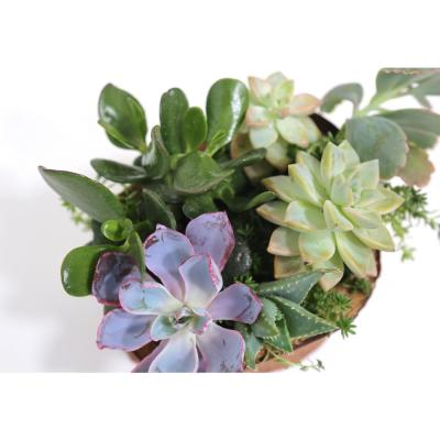 """8"""" Hand CarvedReclaimed WoodCenterpiece with Assorted Live Succulents - Evie Claire"""