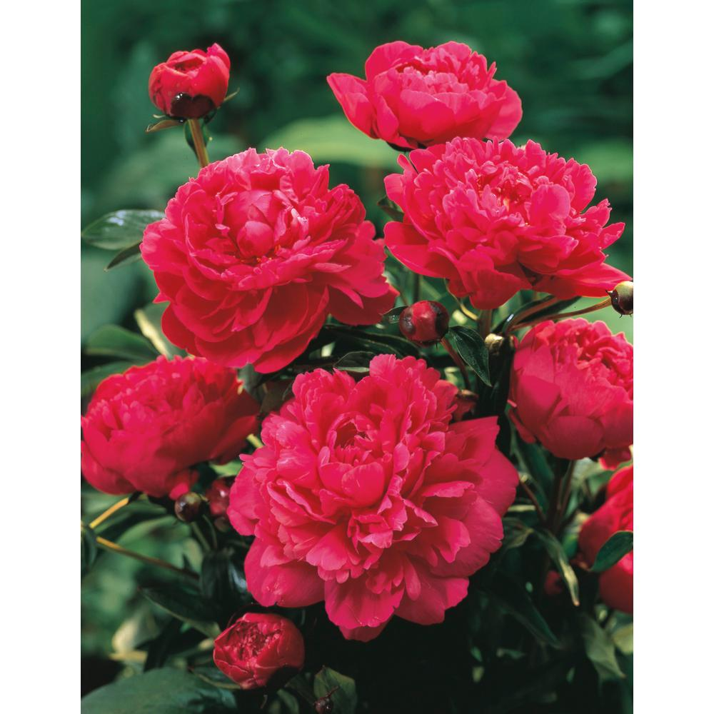 Spring Hill Nurseries Kansas Peony, Live Bareroot Plant, Red Flowering Perennial (1-Pack)
