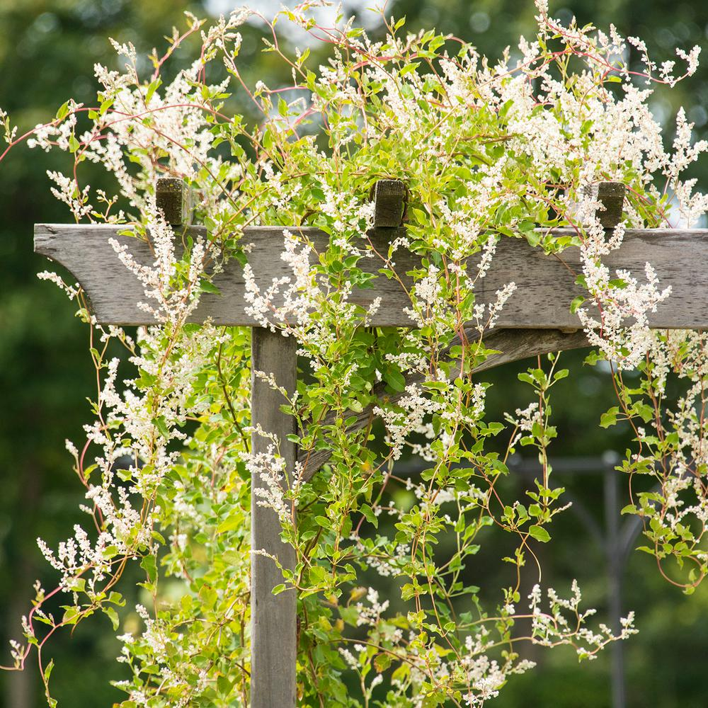 Spring Hill Nurseries 250 In Pot Silver Lace Vine Polygomun Live