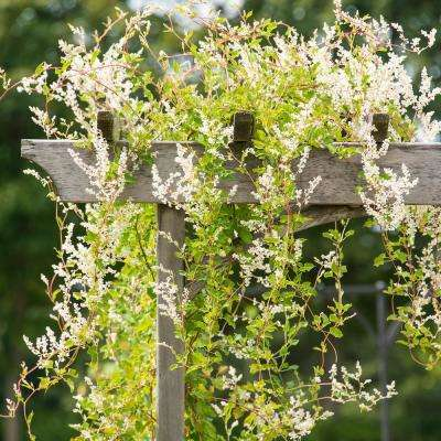 2.50 in. Pot Silver Lace Vine (Polygomun) Live Perennial Plant Vine with White Flowers on Green Foliage (1-Pack)
