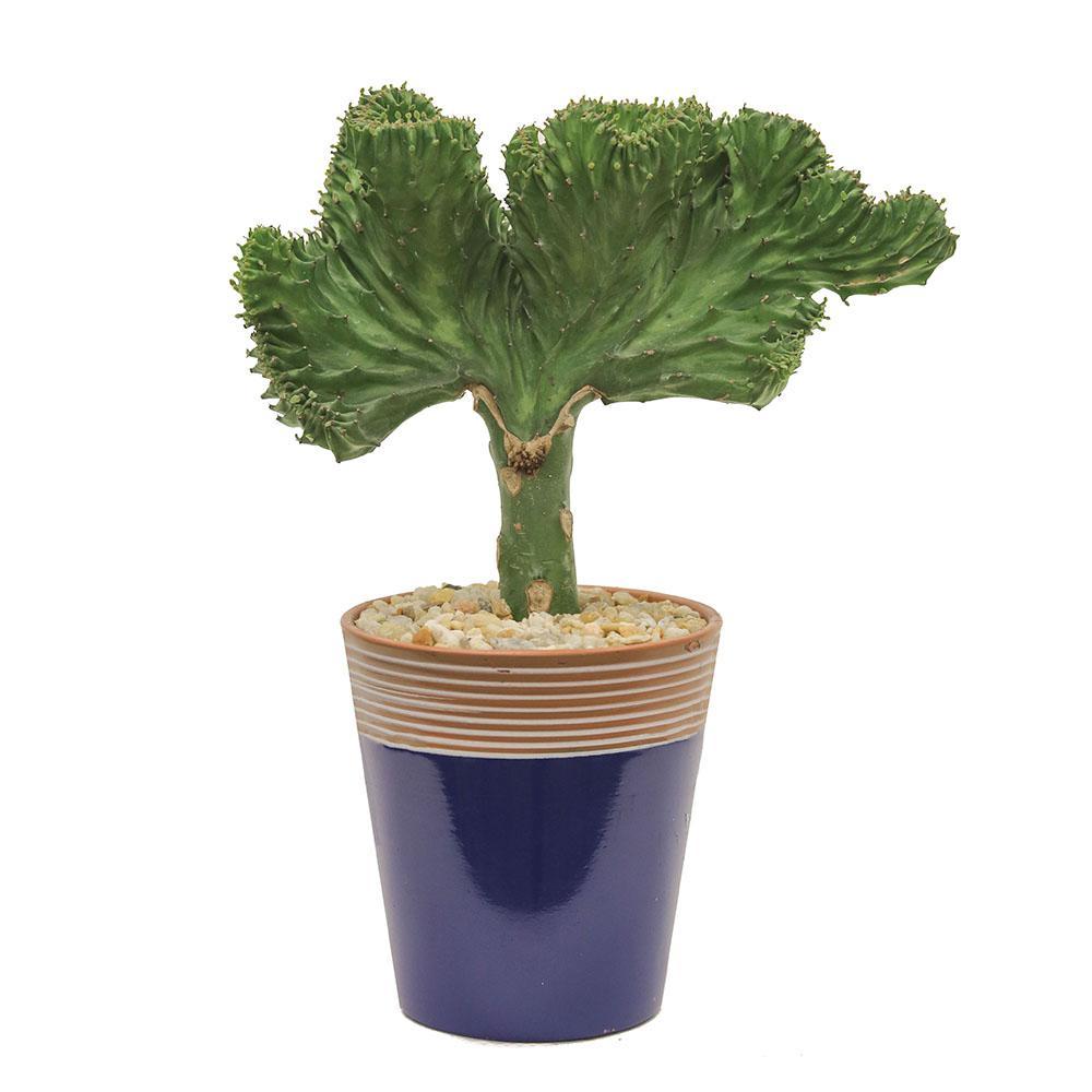 Crested Euphorbia in 5 in. Simple Elegance Blue Ceramic