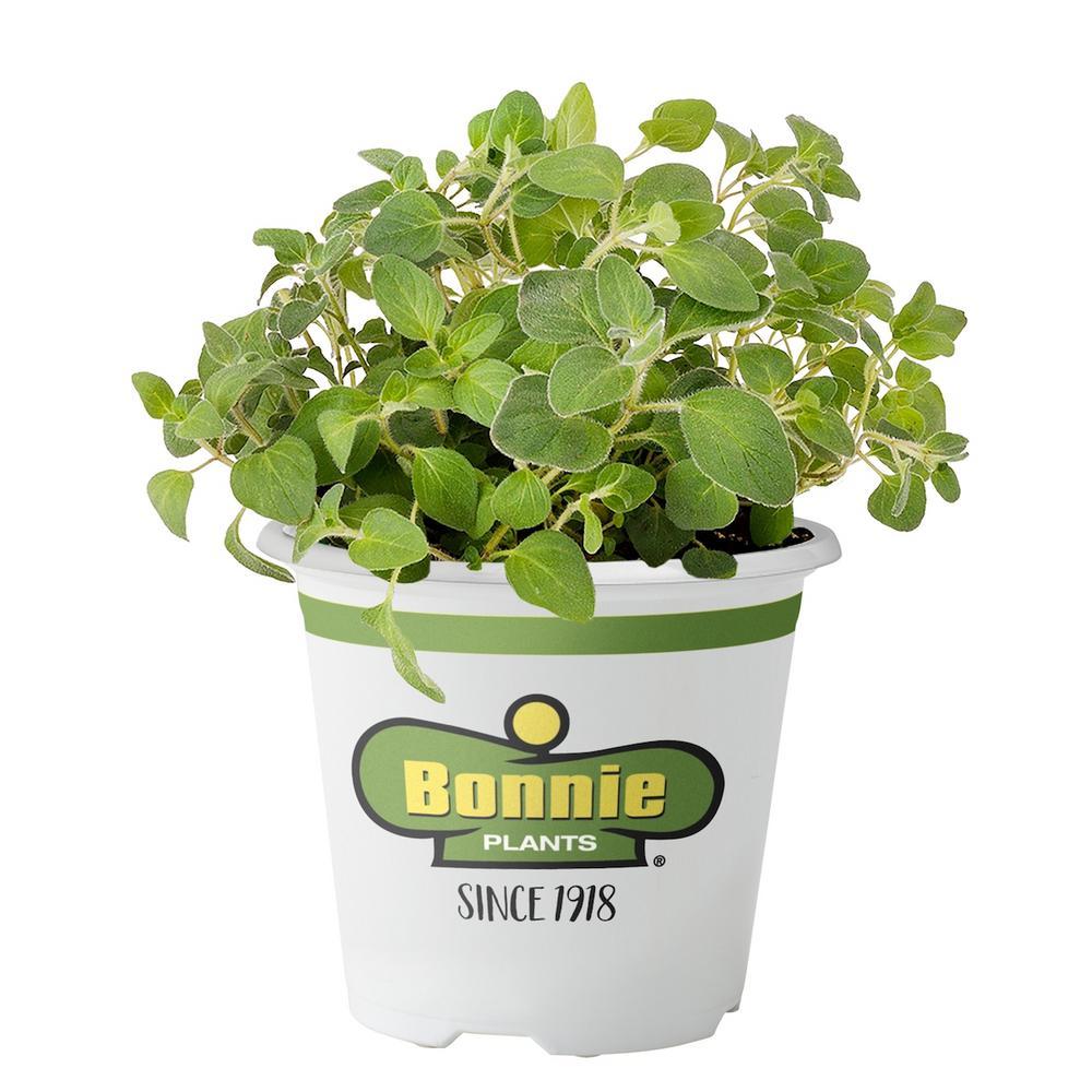 Bonnie Plants Oregano- Italian