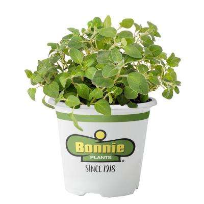 4.5 in. Italian Oregano