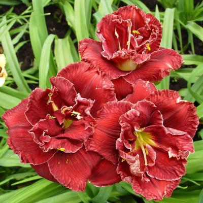 Daylily Stellar Double Rose Bulbs (3-Pack)
