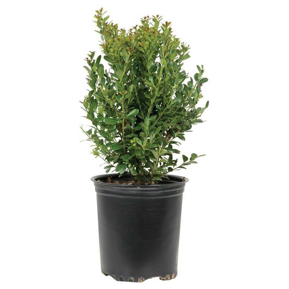 9.25 in. Pot - Compacta Japanese Holly(Ilex), Live Evergreen Shrub
