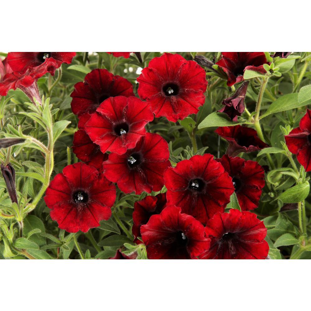 4-Pack, 4.25 in. Grande Supertunia Black Cherry (Petunia) Live Plant, Dark RedFlowers