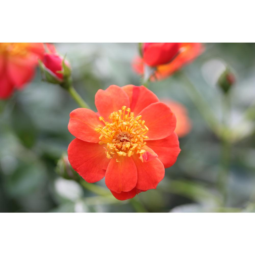 4.5 Qt. Oso Easy Hot Paprika Landscape Rose (Rosa) Live Shrub,