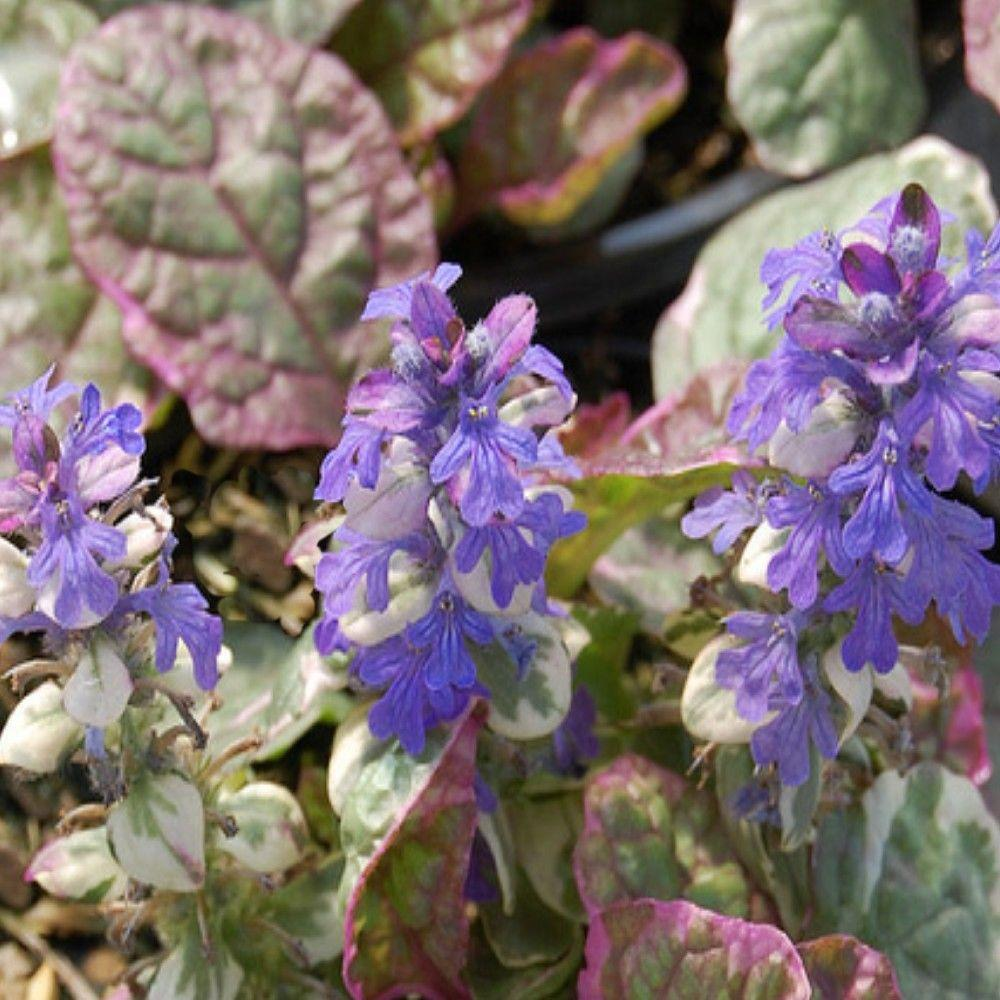 OnlinePlantCenter 1 gal. Burgundy Glow Bugleweed Plant-DISCONTINUED