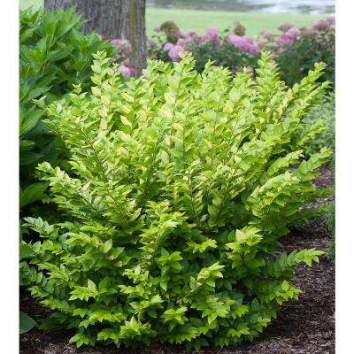3 Gal. Golden Ticket Privet (Ligustrum) Live Shrub, White Flowers and Yellow Foliage