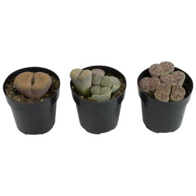 Lithop Collection Plant (3-Pack)