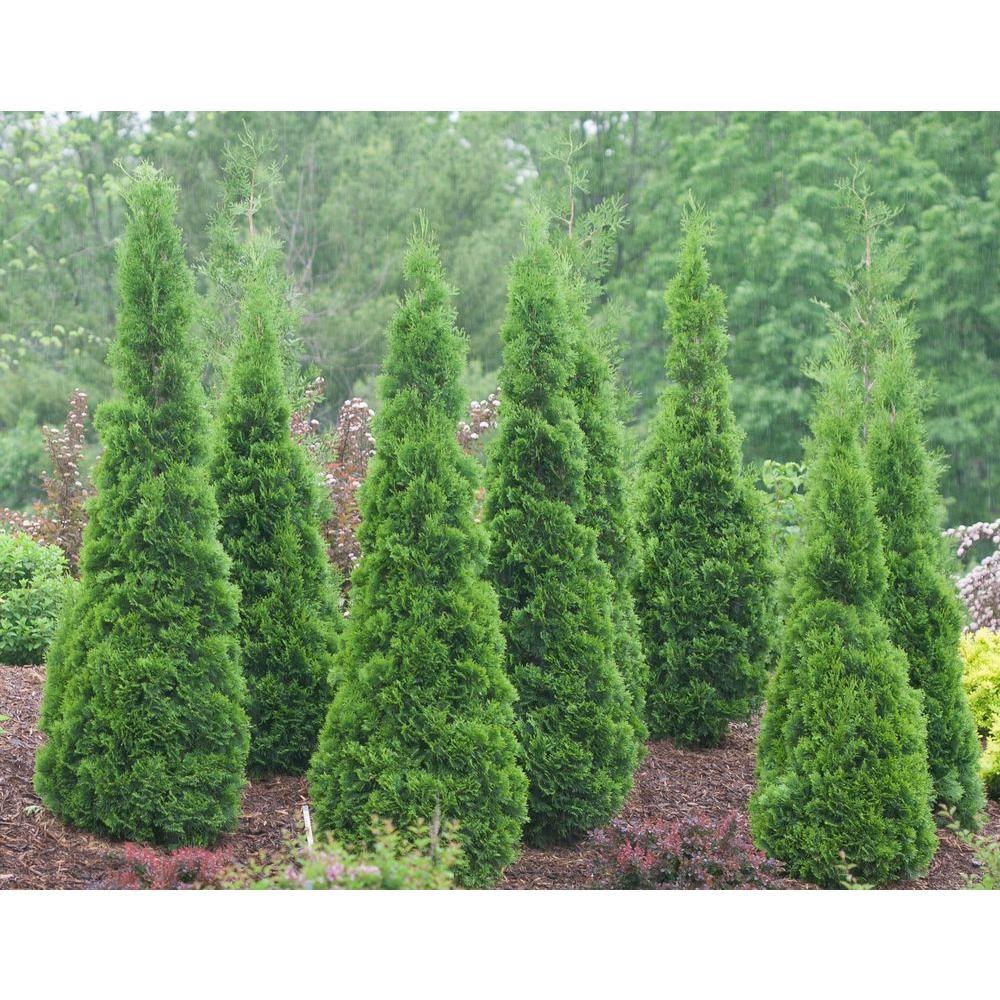 Thuja western - evergreen garden bush 80