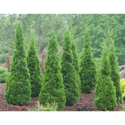North Pole Arborvitae (Thuja) Live Evergreen Shrub, Green Foliage, 3 Gal.