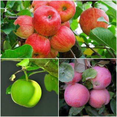 3-in-1 Apple Jubilee Tree