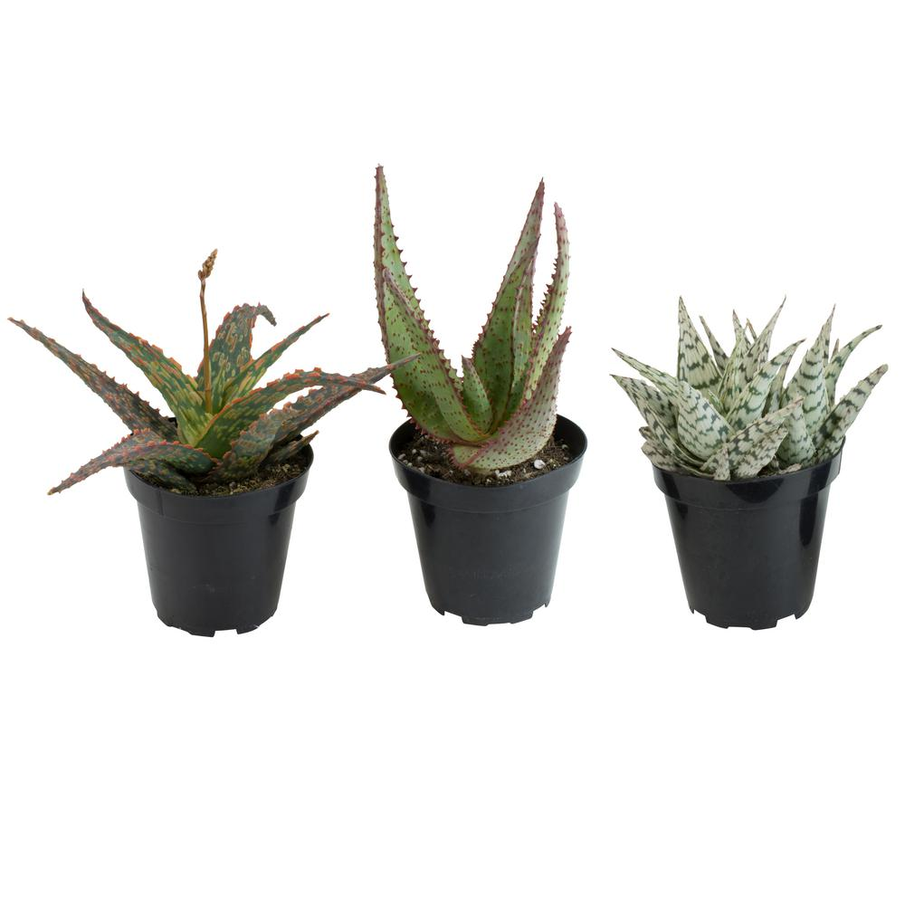 Altman Plants 3 5 In Orted Aloe Plant Pack