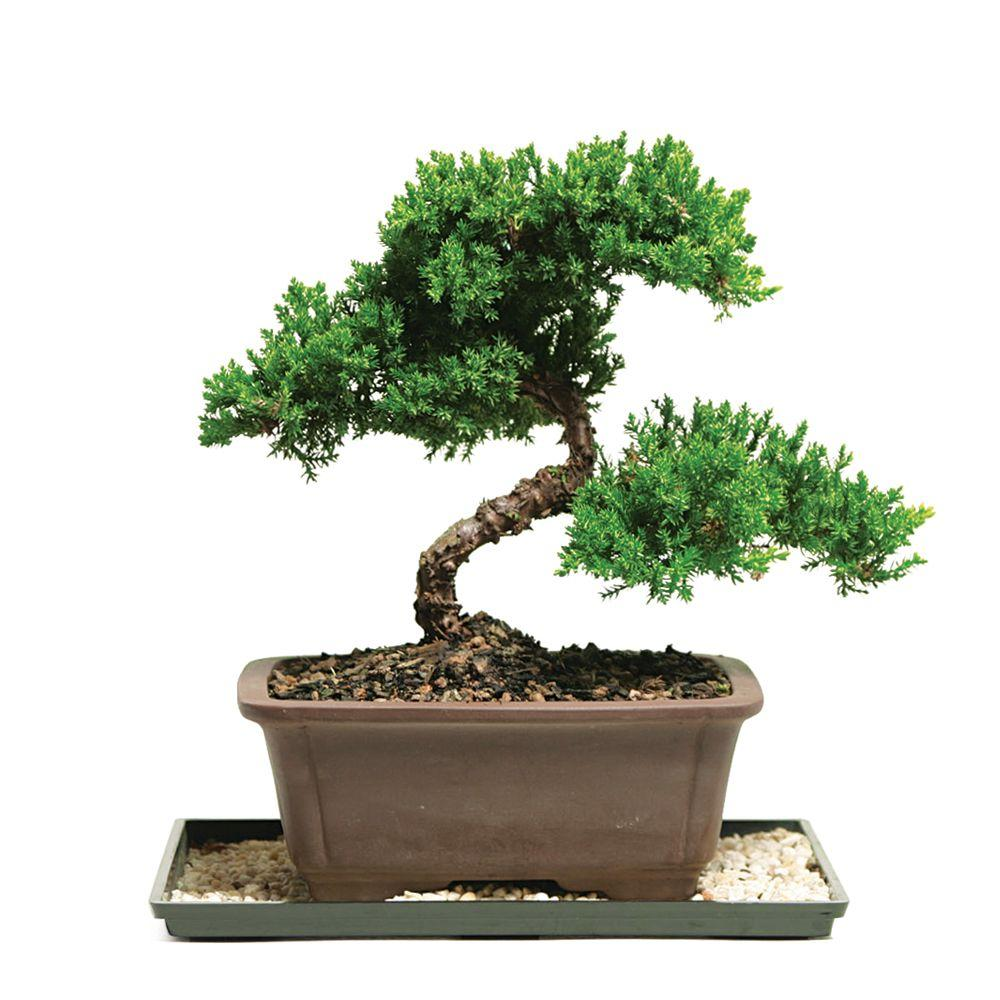 Brussel's Bonsai Green Mound Juniper Bonsai (Outdoor)