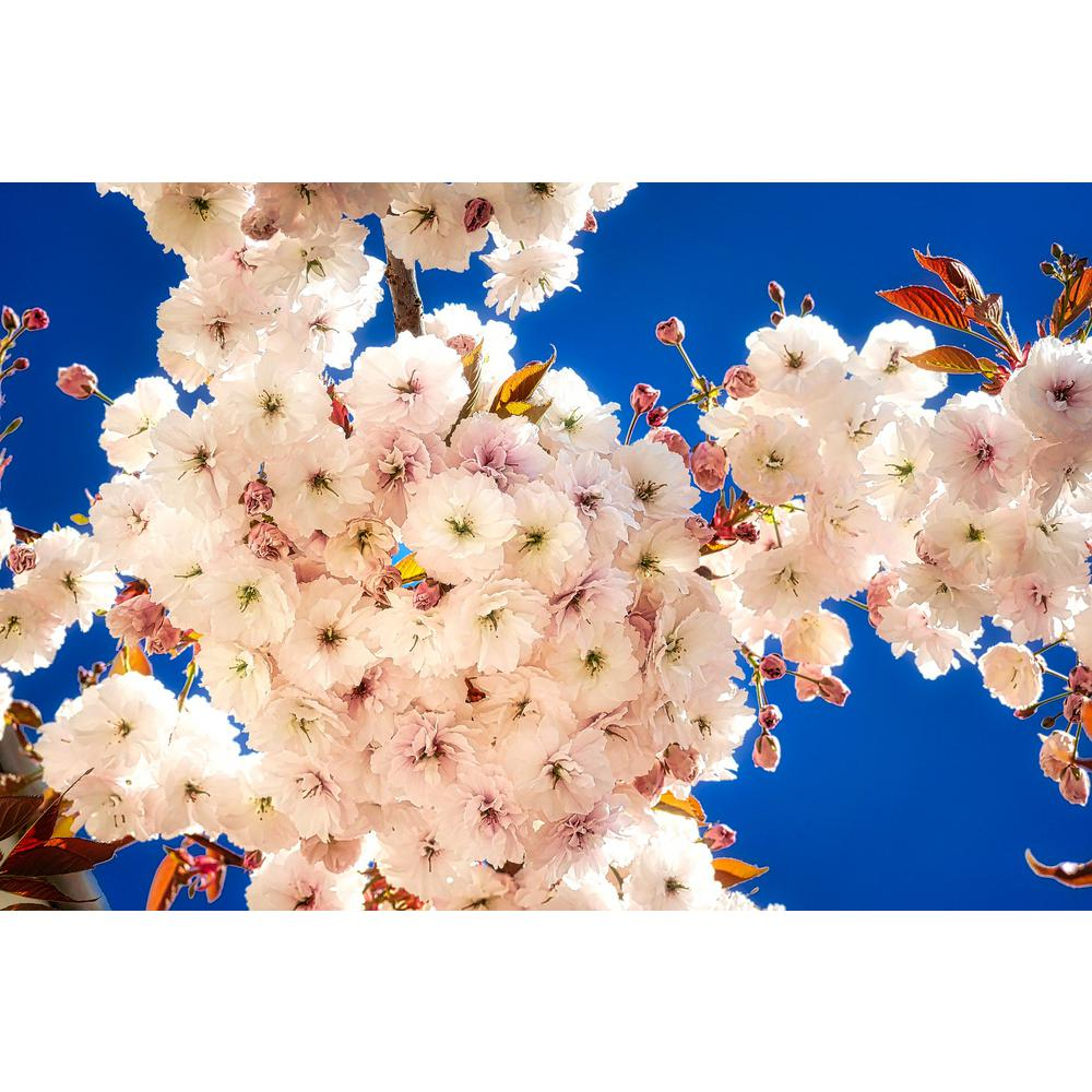 Online Orchards Mt. Fuji Cherry Blossom Tree Bare Root