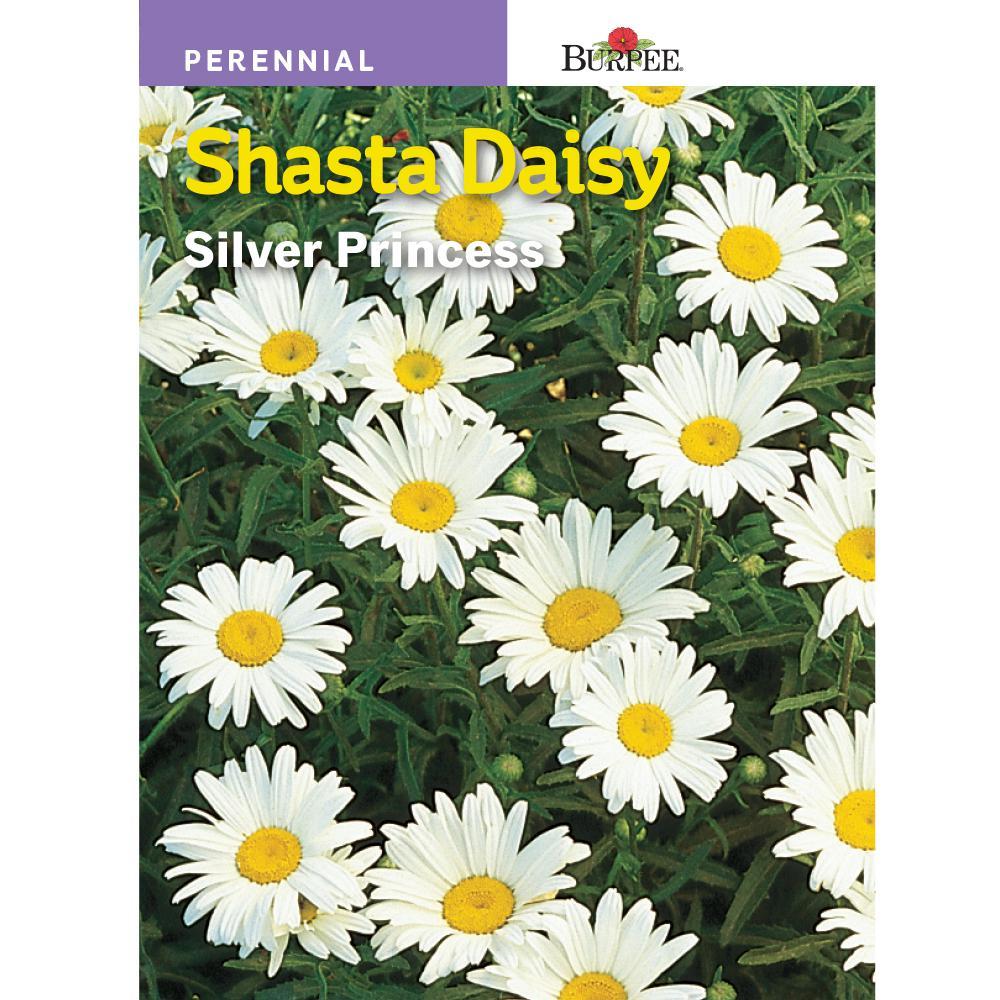 Daisy Shasta Silver Princess Flower Seed