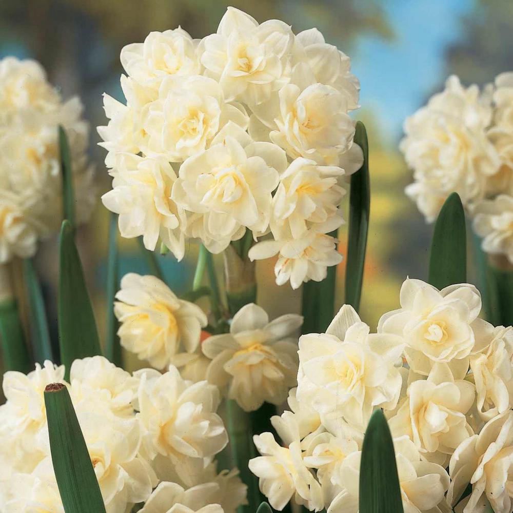 Summer Cheer Daffodil (Narcissus) Bulbs (5-Pack)