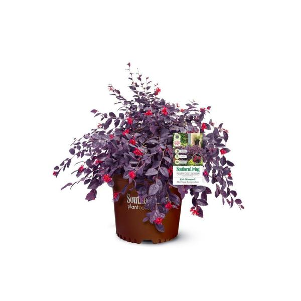 2 Gal. Red Diamond Loropetalum Shrub with Burgundy Foliage and Bright Red Blooms