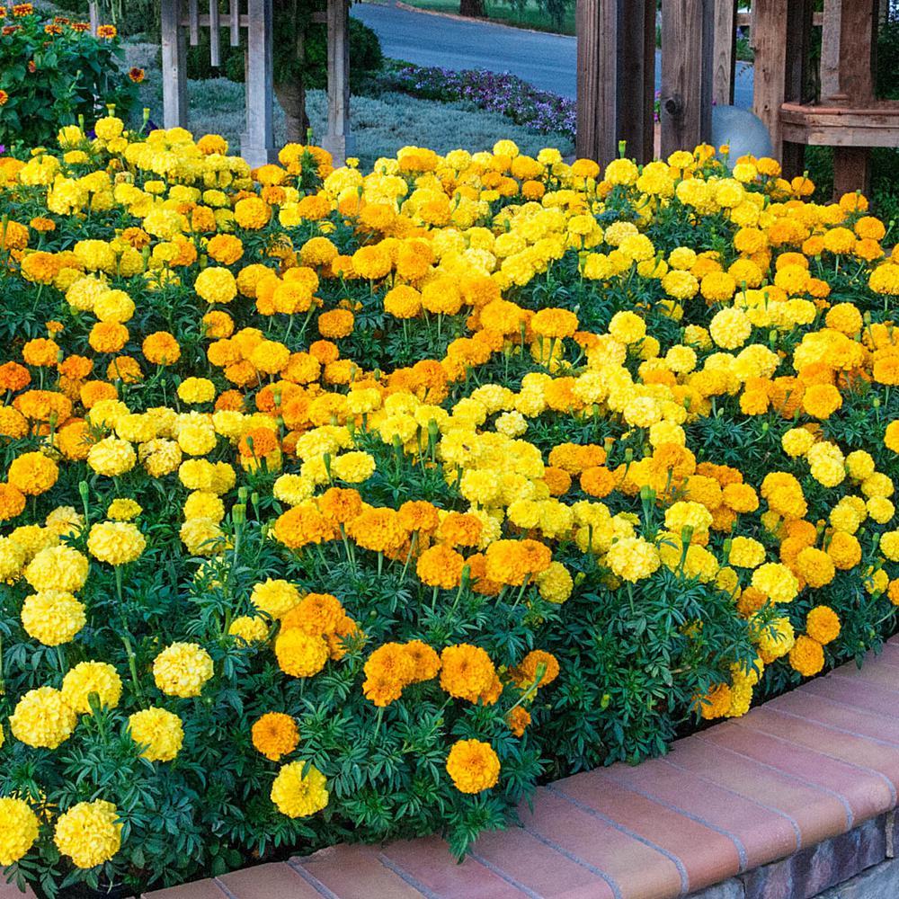 Marigold Inca II Seed Mixture (40 Seed Packet)