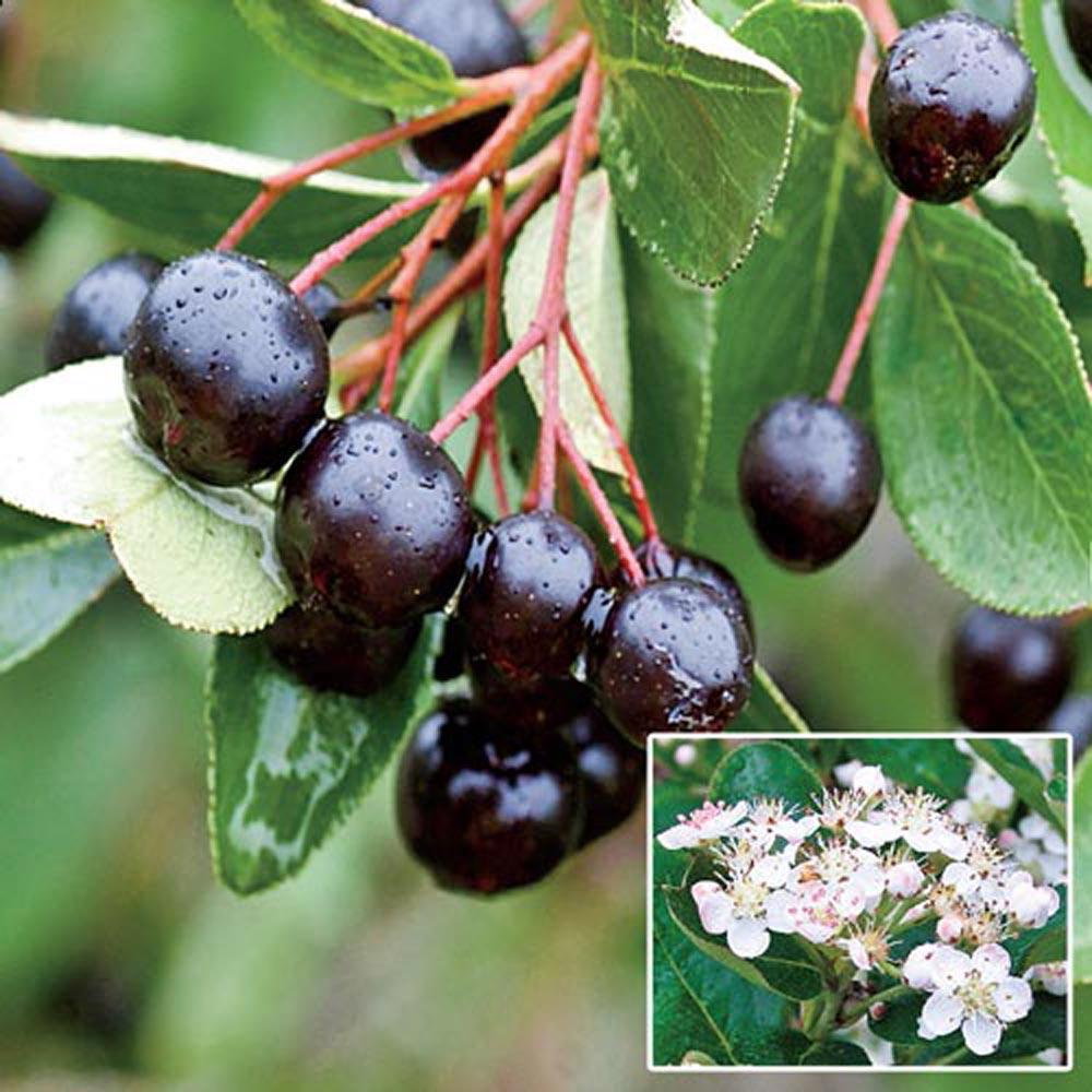 Gurneys Black Chokeberry Aronia Live Bareroot Plant White