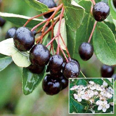 Black Chokeberry (Aronia), Live Bareroot Plant, White Flowers to Black Colored Berries (1-Pack)