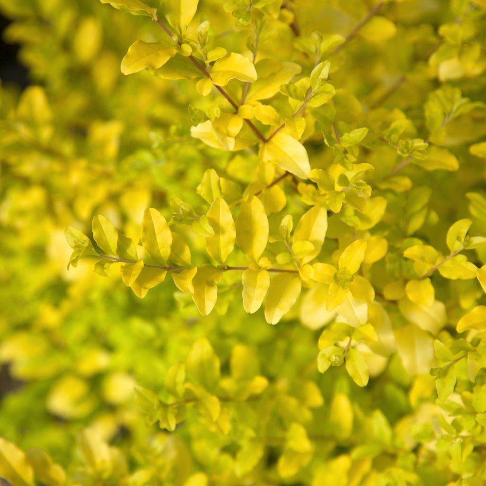 2 Gal. Sunshine Ligustrum, Evergreen Shrub, Bright Golden-Yellow Foliage