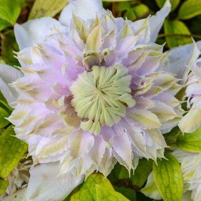 4 in. Pot White and Lavender Flowers Moonglow Clematis Vine Live Potted Perennial Plant (1-Pack)