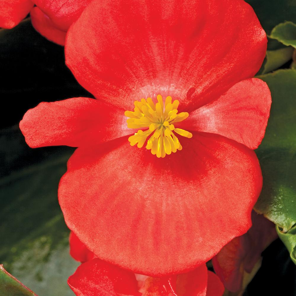 4 in. Red Green Leaf Begonia Plant (Pack of 6)