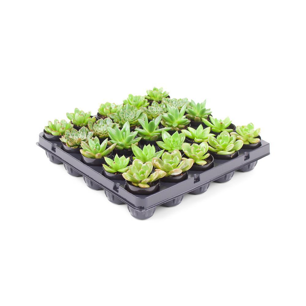 1.75 in. Succulent Mix (25-Plants)