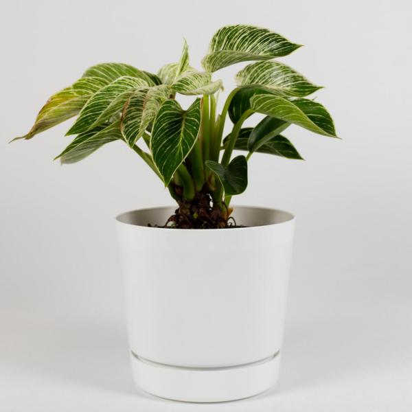 Birkin Philodendron Rare Live Plant Inside 6 in. Decorator White Contemporary Pot with Built-in Saucer
