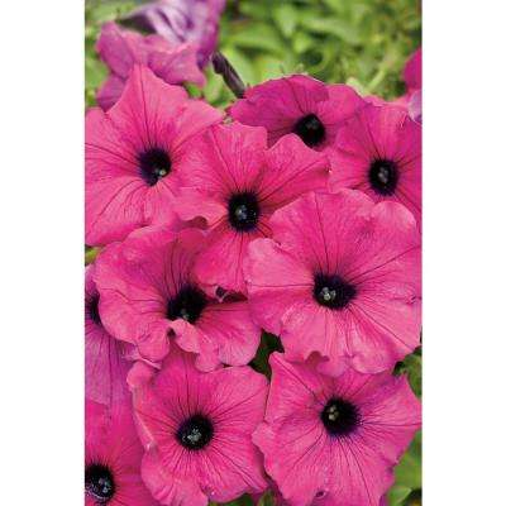 Supertunia Royal Magenta (Petunia) Live Plant, Pink-Purple Flowers, 4.25 in. Grande, 4-pack