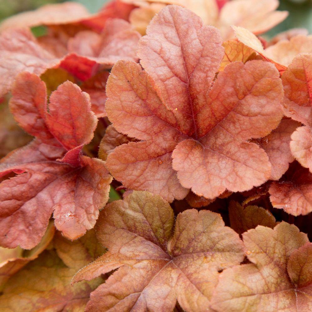 2.5 Qt. Butter Rum Heucherella, Live Perennial Plant, Multi-color Foliage