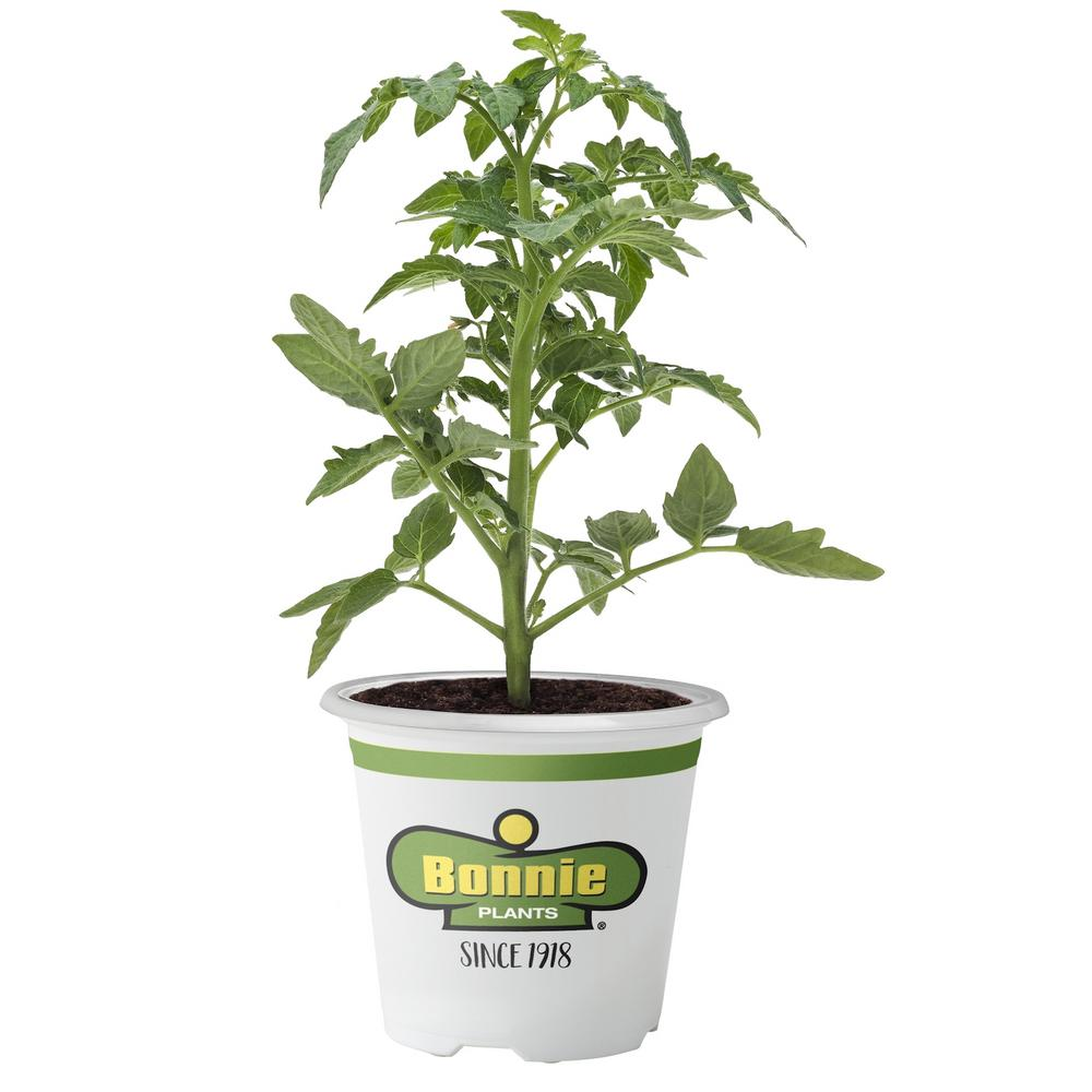 Bonnie Plants 2.32 Qt. Tomato-Cherokee Purple Heirloom