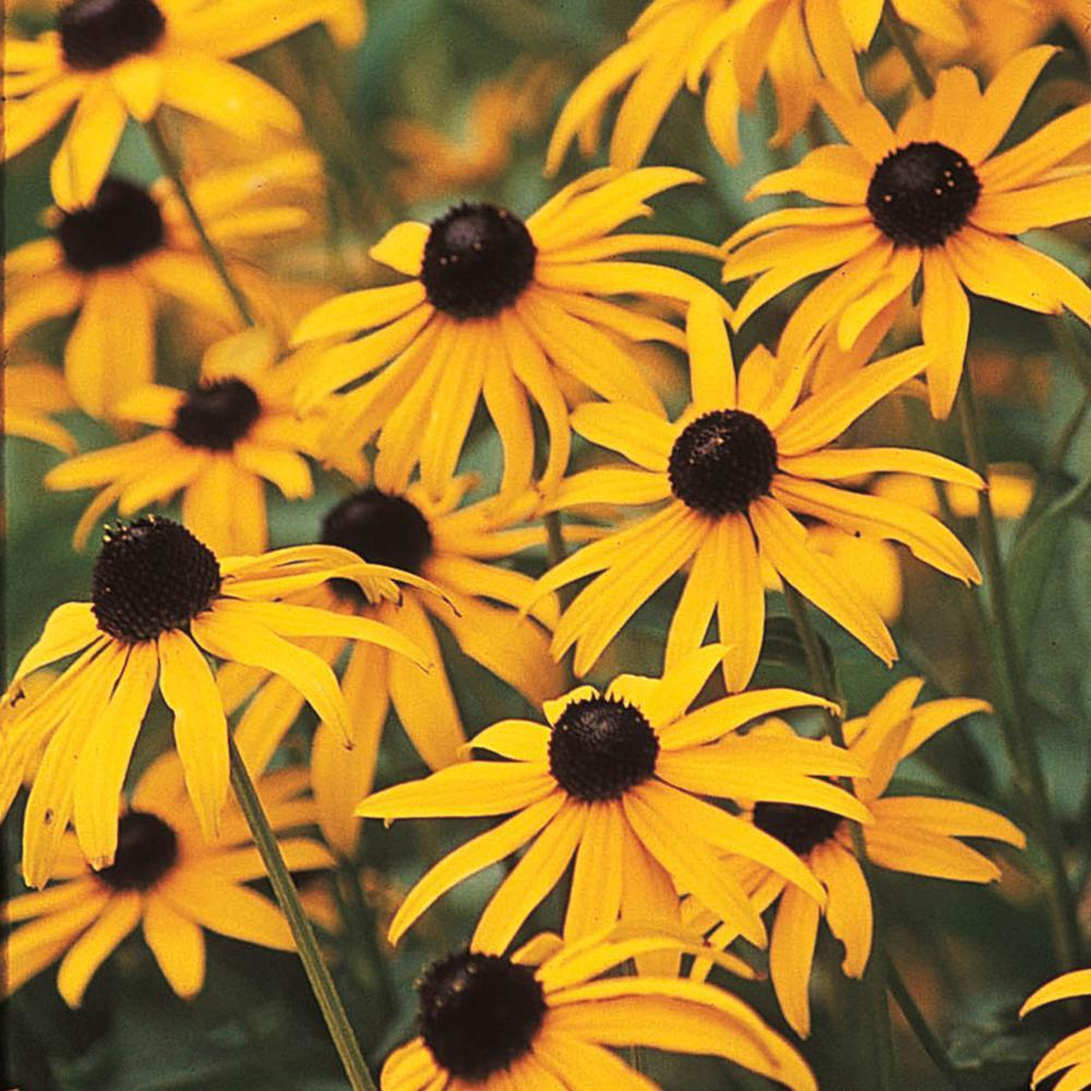 Black-Eyed Susan (Rudbeckia) Yellow Flowering Perennial Live Bareroot Plant (3-Pack)
