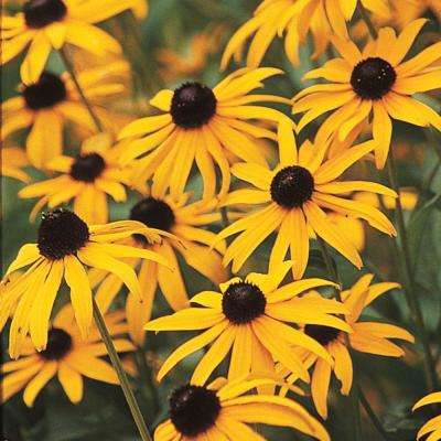 Black-Eyed Susan (Rudbeckia) Yellow Flowering Perennial Live Bareroot Plant (3-Pack)