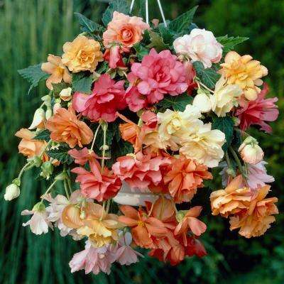 Pastel Hanging Basket Begonia Bulbs Mixed (5-Pack)