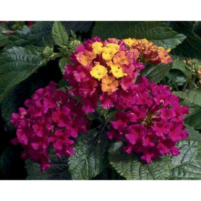 Bandana Cherry (Lantana) Live Plant, Deep Pink Flowers with Yellow-Orange Sections, 4.25 in. Grande, 4-pack