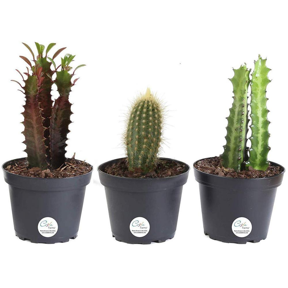 Costa Farms 4 In Euphorbia Cactus In Grower Pot 3 Pack Co Cet04