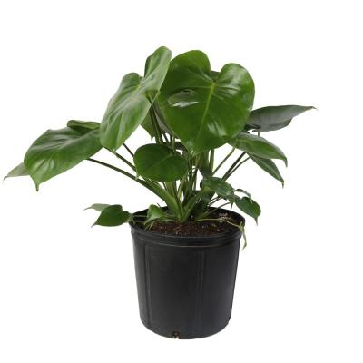 Monstera Plant in 10 in. Grower Pot