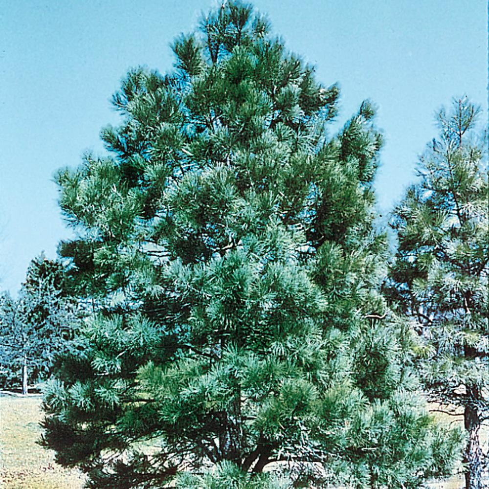 Spring Hill Nurseries Austrian Pine Pinus Live Bare Root