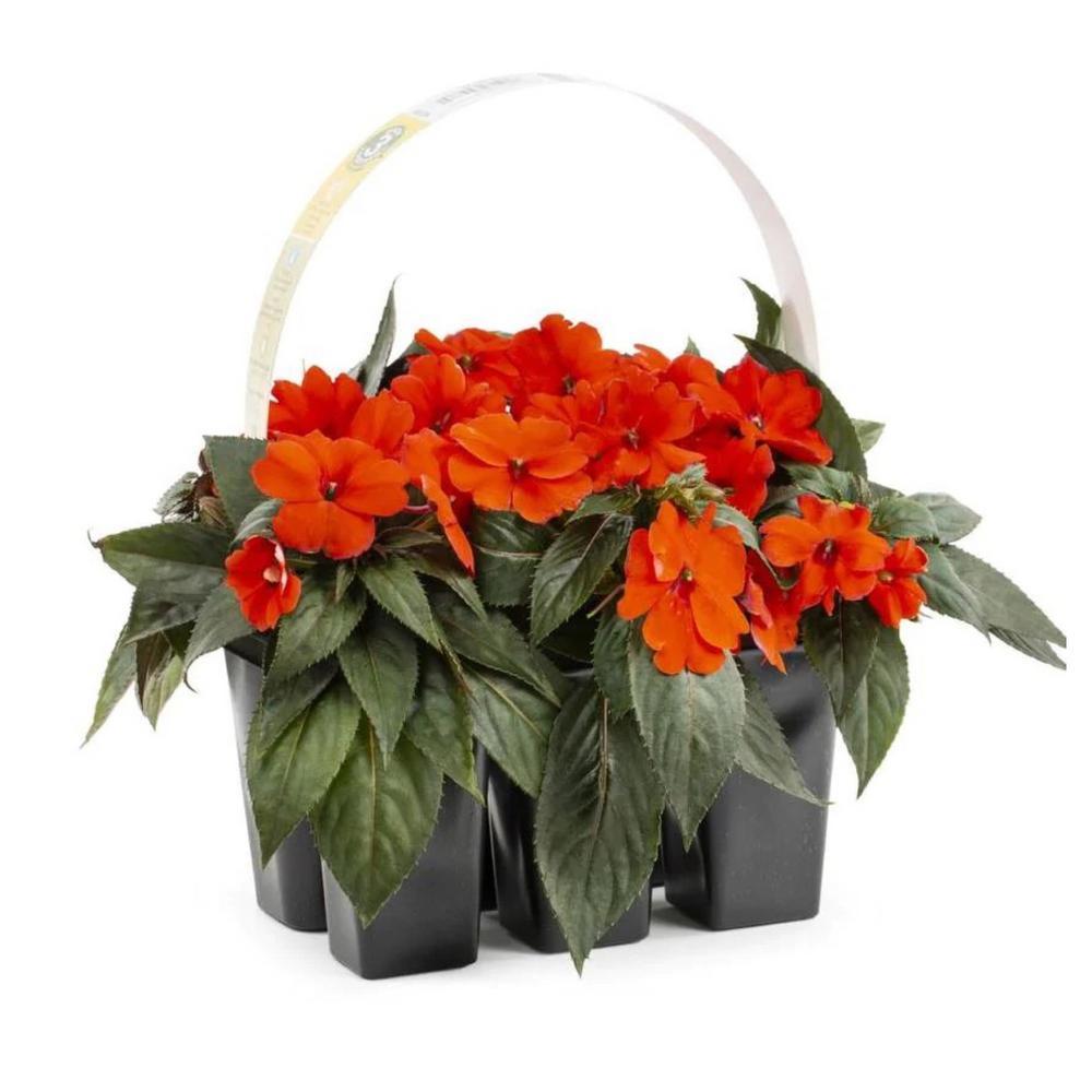 2.25 Qt. SunPatien Impatien Plant Orange Flowers in 2.75 In. Cell Grower's Tray (6-Plants)