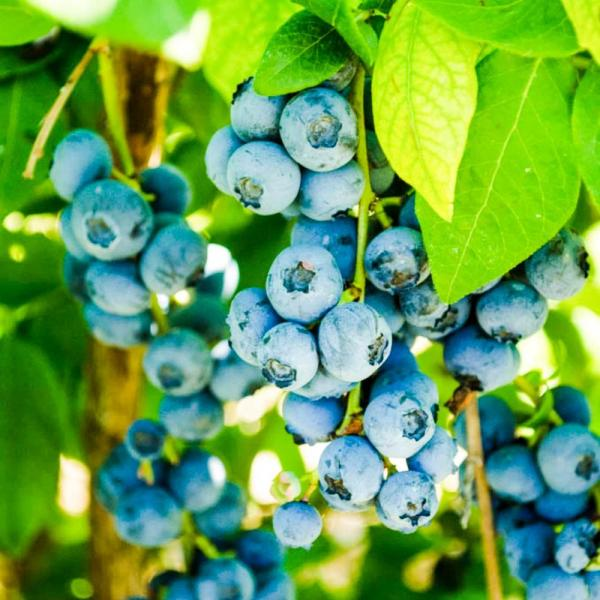 Northland Blueberry (Vaccinium), Live Deciduous Fruiting Plant, Grown in a 3 in. pot (1-Pack)
