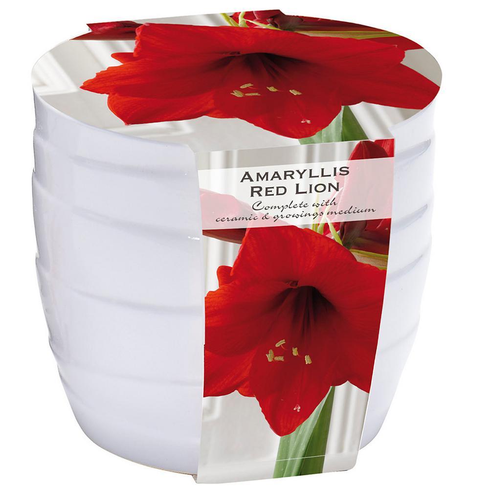 Red Lion Amaryllis Kit with White Swirl Ceramic Planter