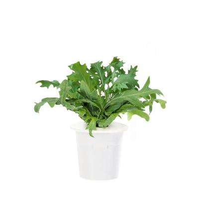 Leaf Mustard Refill (3-Pack) for Smart Herb Garden