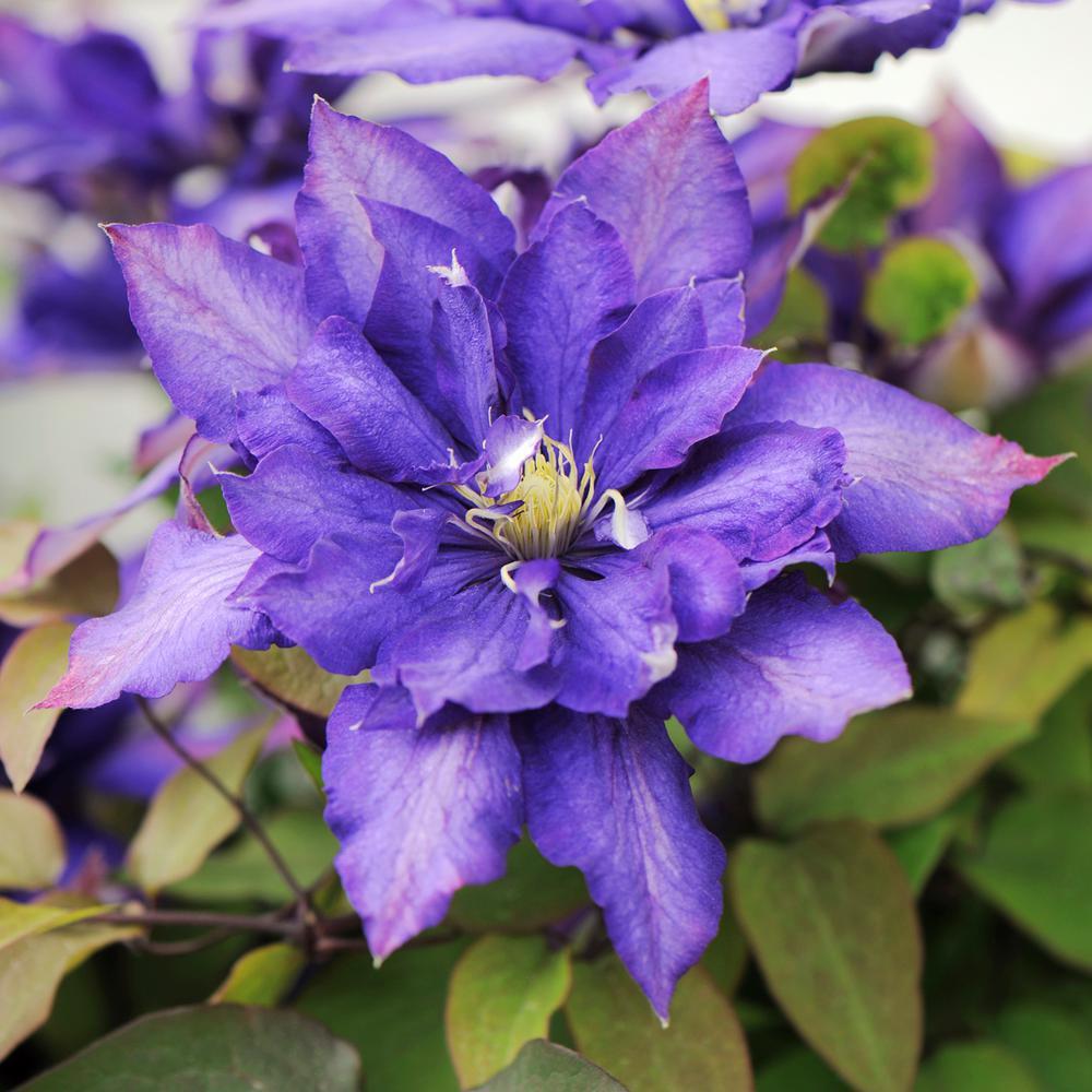 3 In. Pot Daniel Deronda Clematis Live Perennial Plant Vine with Violet-Blue Flowers (1-Pack)