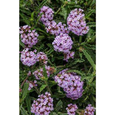 Meteor Shower Verbena Live Plant Light Purple Flowers 4 25 In Grande