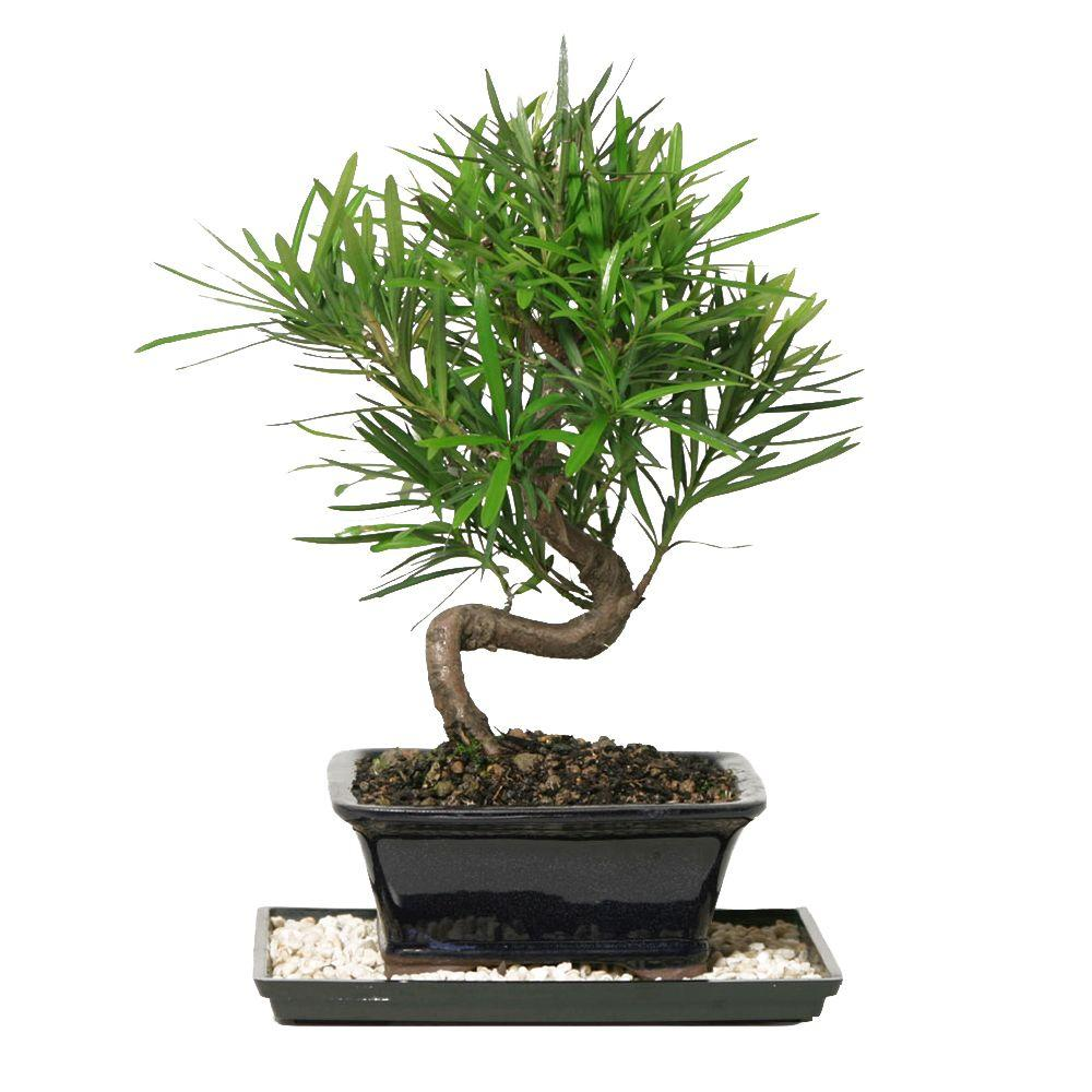 Bonsai Trees Indoor Plants The Home Depot Wiring In Podocarpus Micro Phyllus