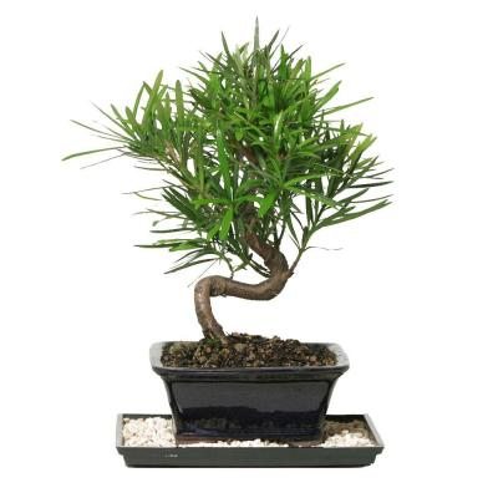 Podocarpus Micro Phyllus Bonsai