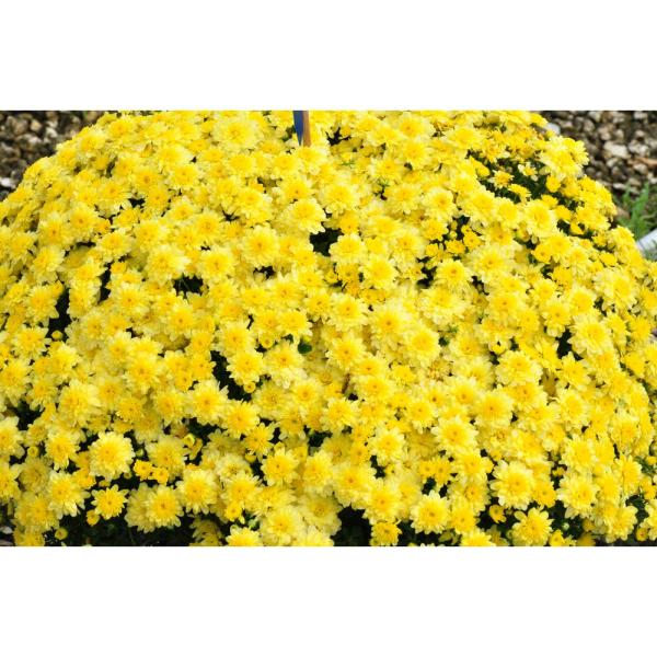 Costa Farms 3 Qt Ready To Bloom Yellow Fall Mums Chrysanthemum In Whiskey Barrell 2 Pack Chr3qtylw2pkwb The Home Depot